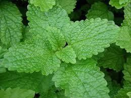 Lemon Balm - The Calming Herb