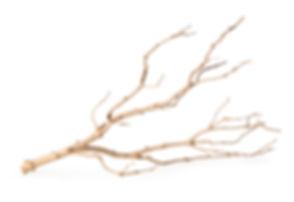 05518_Staghorn Branch_Manzanita_Branch.j