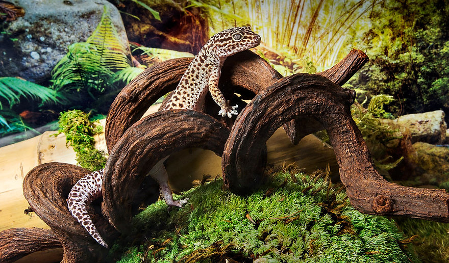 Leopard Gecko on Moss and Jungle Wood