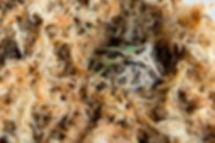 Pac Man Frog in Golden Sphagnum Moss