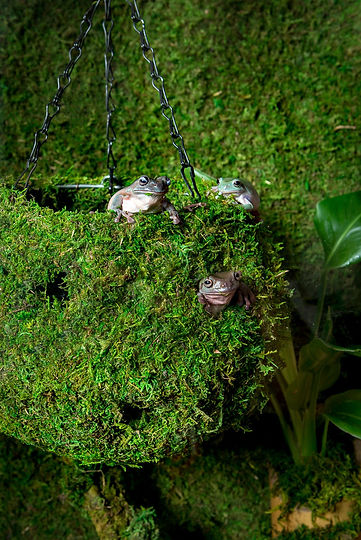 Tree Frog in Mossy Hide