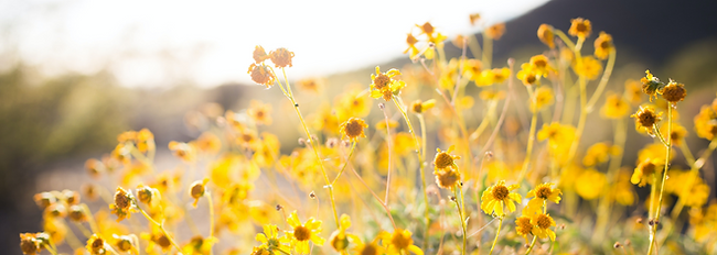 yellow flowers transparent.png