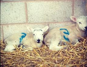Fresh Meat boxes, devon, knight farm Lamb
