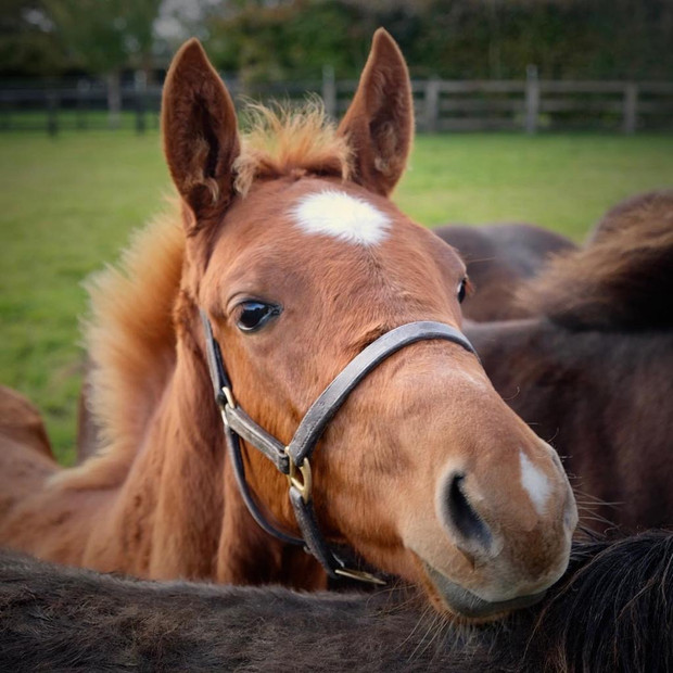 Malinas colt foal