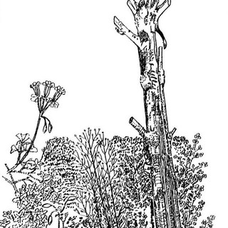 Adelaide Stump