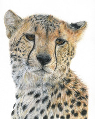 Cheetah on