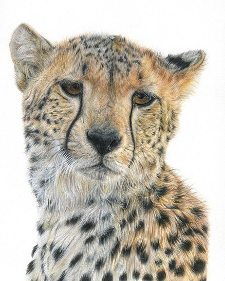 Here's my scanned image of this cheetah,