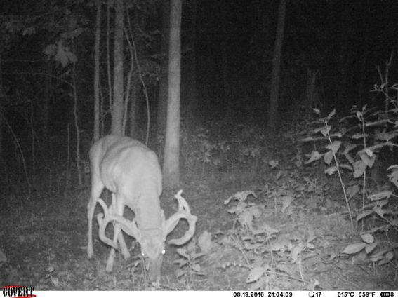 Big-whitetail-buck-with-his-head-down-ea