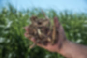RWWP Giant Miscanthus Rhizomes.jpg