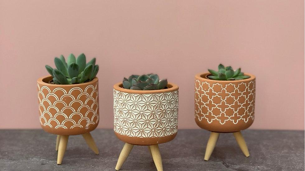 Succulent in ceramic pot
