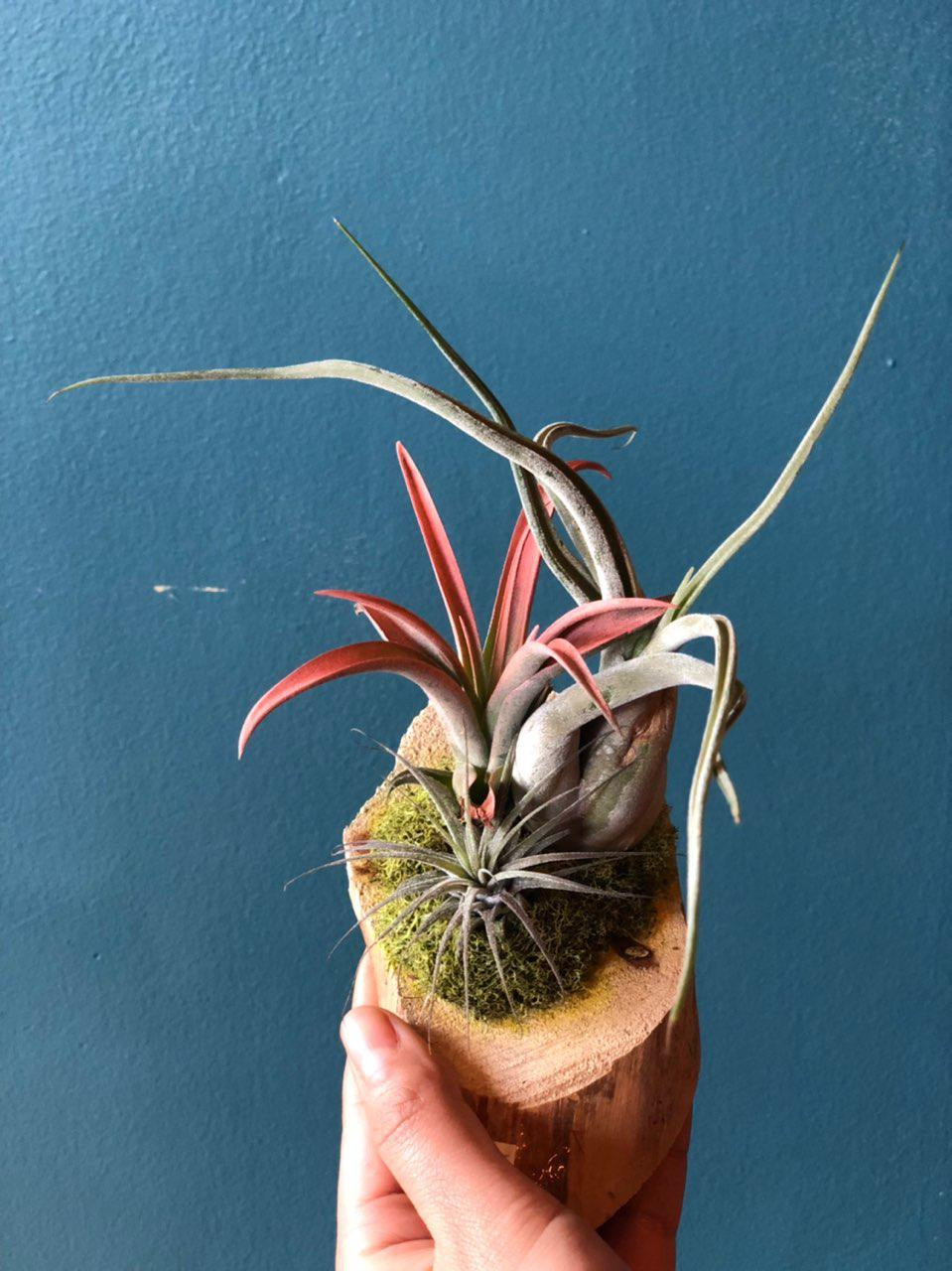 air plants, Tillandsia, Flower shop Great Neck NY