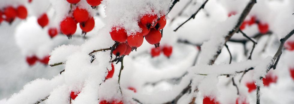 redberrysnow.jpg