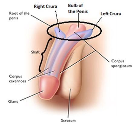 Root of Penis.jpg