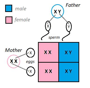 Chromosomes of Parents.png