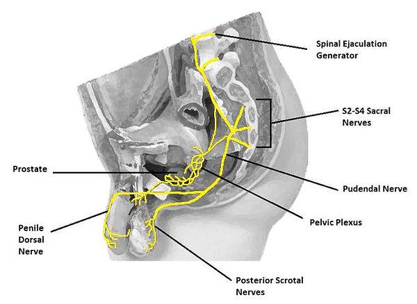 Pelvic Nerves.jpg