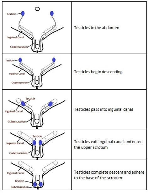 Testicular Descent.jpg