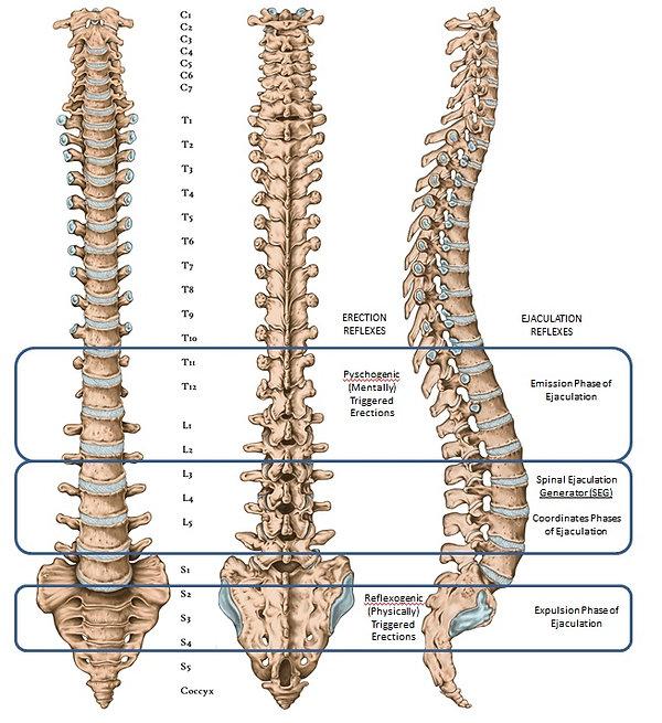 Spinal Reflexes.jpg