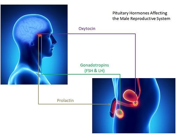 Pituitary Hormones.jpg
