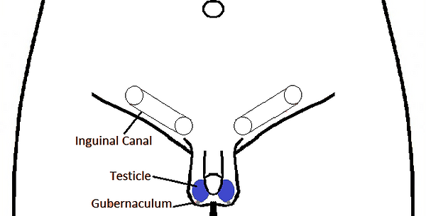 Correct Scrotal Testicle B&W.png