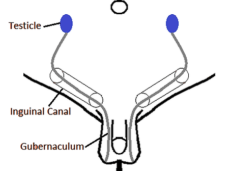 Abdominal Testicle B&W.png