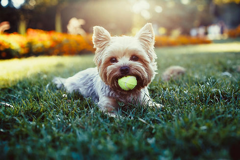 Beautiful Yorkshire Terrier Playing With A Ball On A Grass.jpg