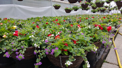Hanging baskets growing
