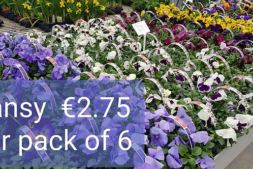 Pansy pack of 6