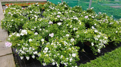 White flowered baskets to order