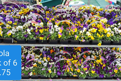 Bedding plants Viola mixed colours