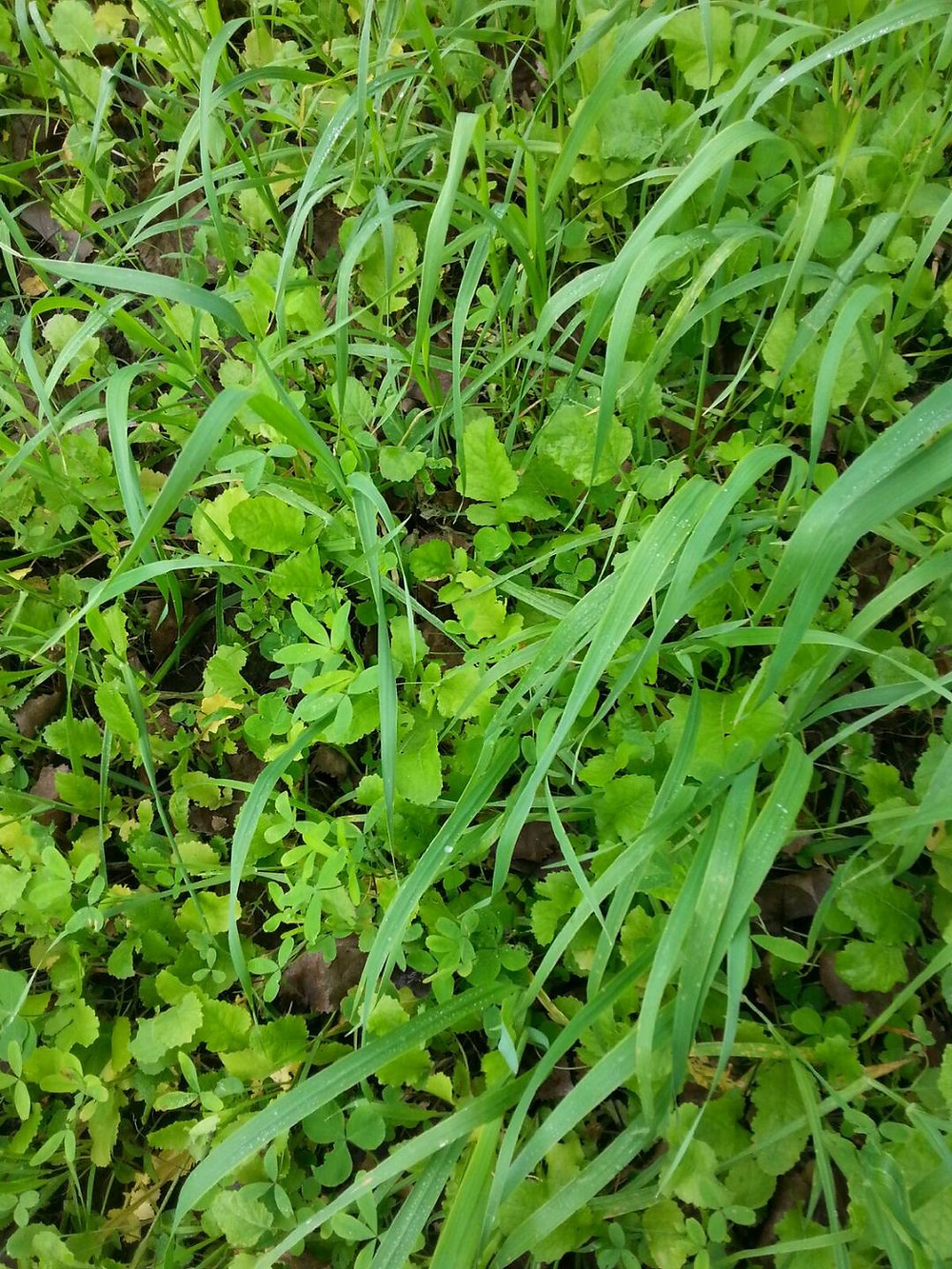 Food Plot Planting Density