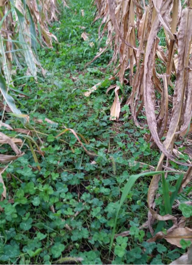 clovers interseeded between the corn rows