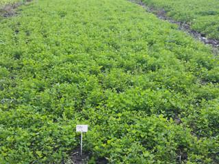 Alfalfa and clover management
