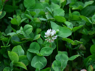 What Clovers or perennials should I plant?