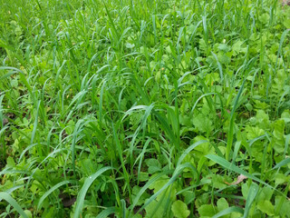 Why plant oat as a sole source of deer forage?