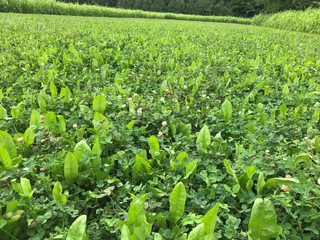 Pros and Cons of Food Plot Forages
