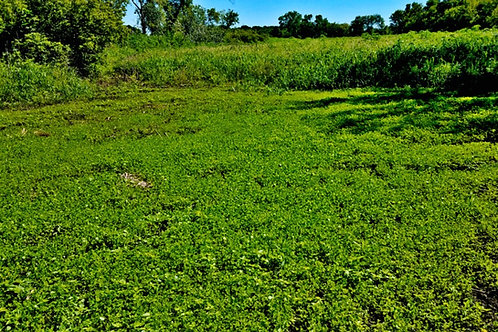 3 Way Annual Clover 4.25lbs. (1/3 acre)