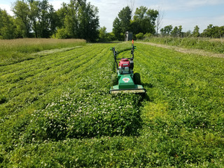 Clover for food plots