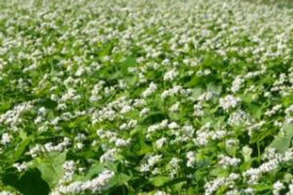 Buckwheat 4.5lbs.