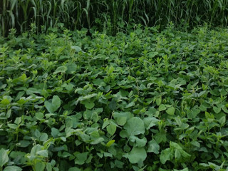 Food Plot Efficiency