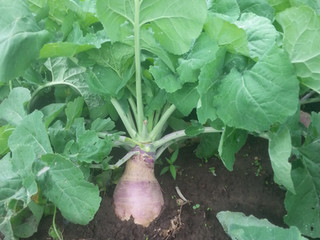 Why Rutabaga may be Better than Growing Turnips for Deer