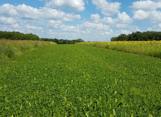 Clipping Your Food Plot Clovers and Perennials