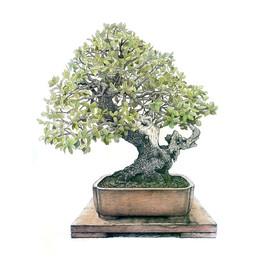 Quercus ilex | Encina
