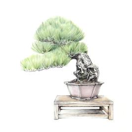 Pinus thunbergii | Pino negro japonéss