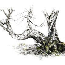 Abedul. Betula alba