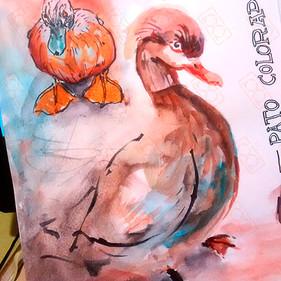 Pato Colorado | Museo de Ciencias Naturales