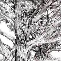 Ficus del Mora (Cádiz)