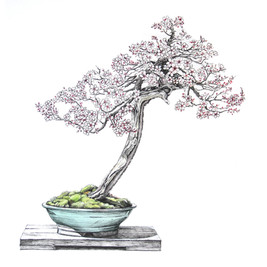 Prunus cerasifera 'pisardii' | Ciruelo de hojas púrpuras