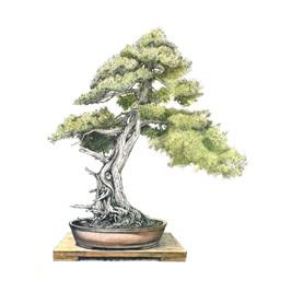 Juniperus rigida | Enebro de las pagodas