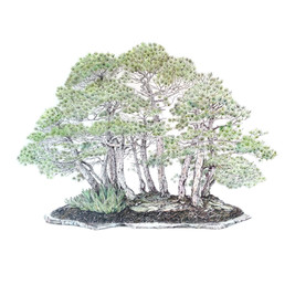 Pinus sylvestris | Pino albar
