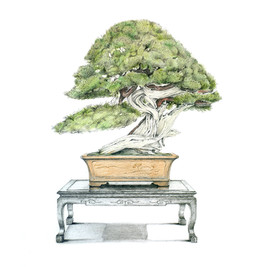 Juniperus chinensis | Enebro de China
